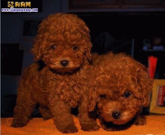 贵宾犬价格多少钱一只