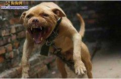 城市禁养犬种名单:重庆市禁止饲