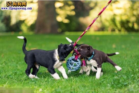 边境牧羊犬怎样训练