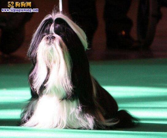 西施犬有几种颜色