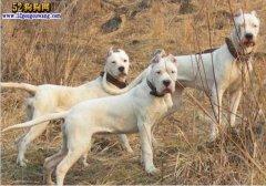城市禁养犬种名单:辽宁沈阳禁止