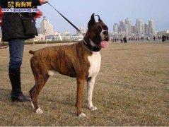 中国家禁养的26种狗、看看哪些宠