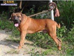 城市禁养犬种名单:陕西西安禁止