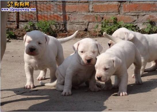 2019年杜高犬价格