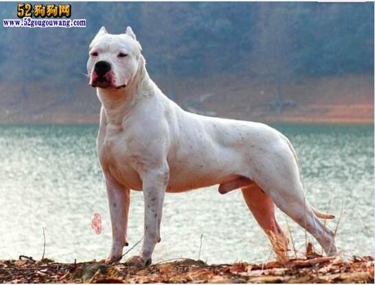 纯种杜高犬价格