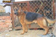 城市禁养犬种名单:湖南长沙禁止