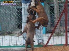 城市禁养犬种名单:江苏南京禁止