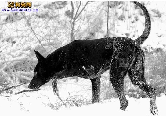 墨界黑狼犬