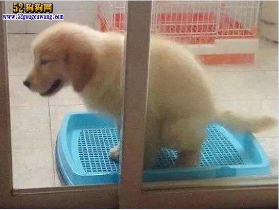 怎样训练狗狗大小便