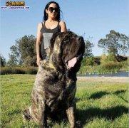 城市禁养犬种名单:山东东营禁止