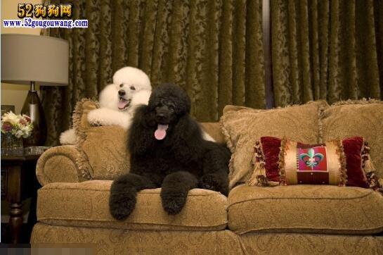 标准贵宾犬(巨型贵宾)、带你了解一下标准贵宾犬的特征与价格