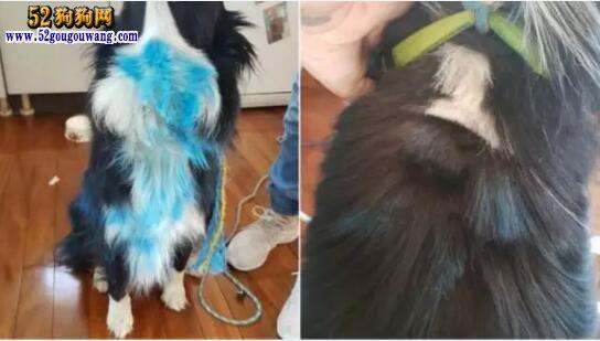 另类偷狗贼!澳女子宠物狗被偷走、喷漆还绑在柱子上!