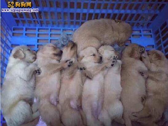 小金毛犬多少钱