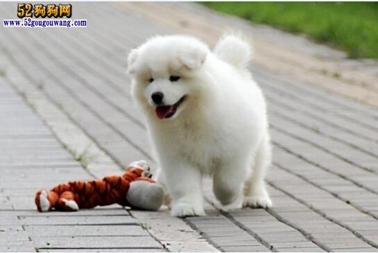 小萨摩耶、小萨摩耶犬价格及日常饲养知识