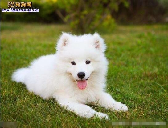 萨摩耶幼犬多少钱一只