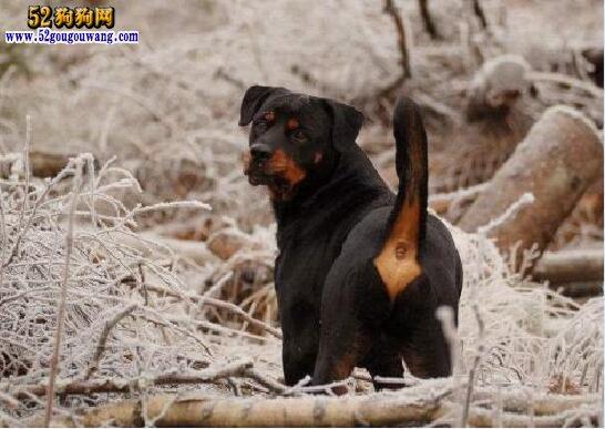 纯种罗威纳犬