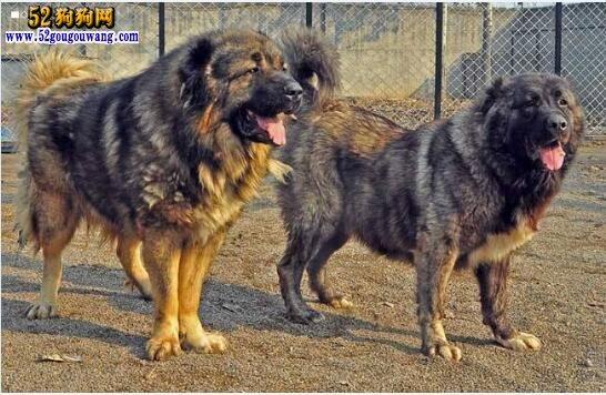 高加索幼犬价格、四大因素影响高加索犬价格