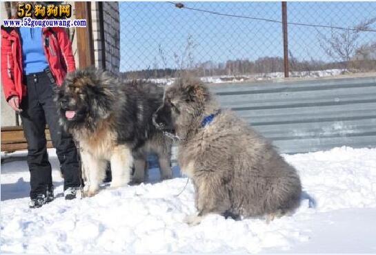 领养高加索犬