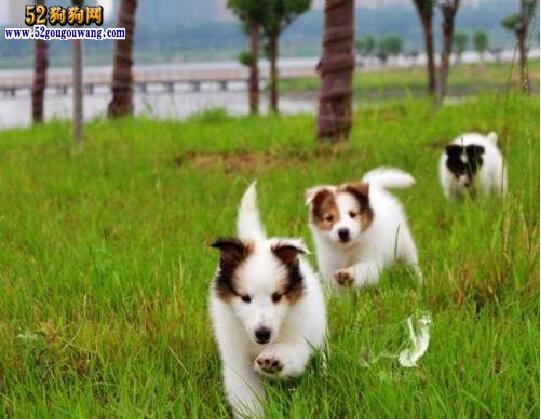 苏牧幼犬、苏格兰牧羊犬幼犬选购与饲养