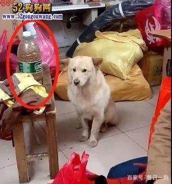 过年了你家狗狗怎么办?狗狗一听过年狗狗害怕了!