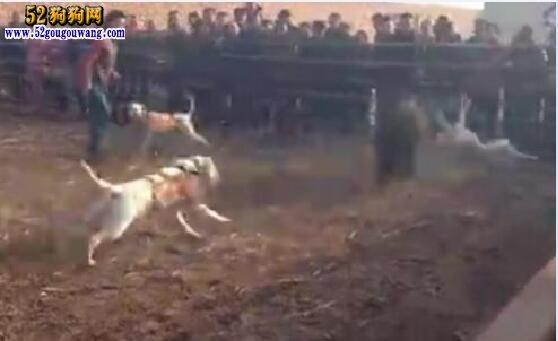 """猎犬杜高、了解一下被称为""""无声杀手""""的杜高犬!"""