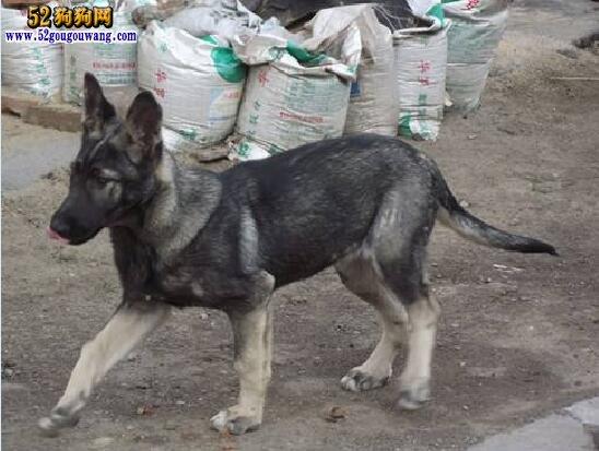 狼青的智商、狼青犬聪明吗?