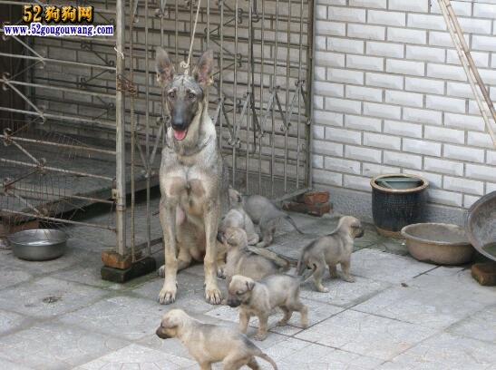 狼青价格、购买狼青犬注意影响价格的因素!