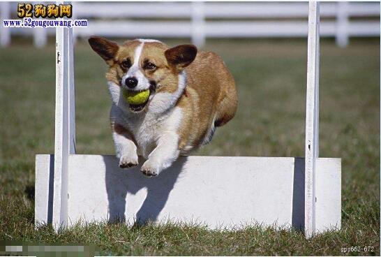 柯基犬怎么训练