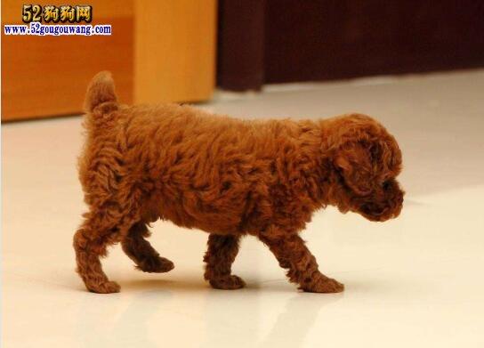 贵宾狗多少钱一只?