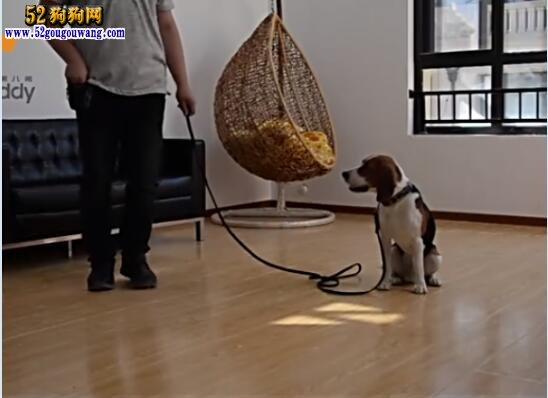 狗狗训练视频:怎么训练狗狗等待(下)