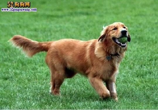 金毛犬怎么养