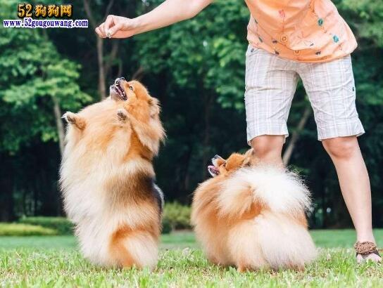 博美犬的训练方法