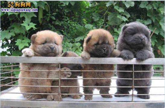 松狮幼犬多少钱一只?主要看买什么级别的!