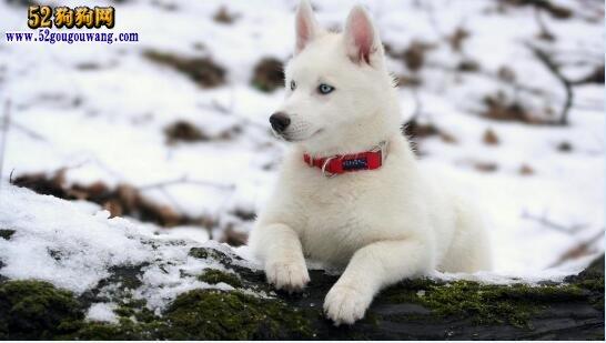 白色哈士奇、有纯白哈士奇犬吗?看看能值多少钱一只?