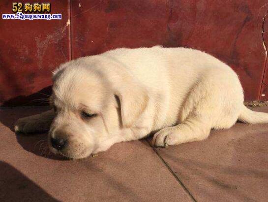 买拉布拉多、拉布拉多犬在哪里买最好?