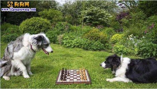 边境牧羊犬有多聪明?智商超过八岁孩子的都有!