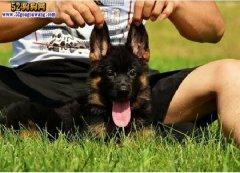 幼犬德国牧羊犬的价格?怎么挑选德牧幼犬?