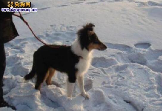 苏格兰牧羊犬幼犬