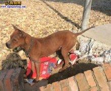 城市禁养犬种名单:江苏省无锡市