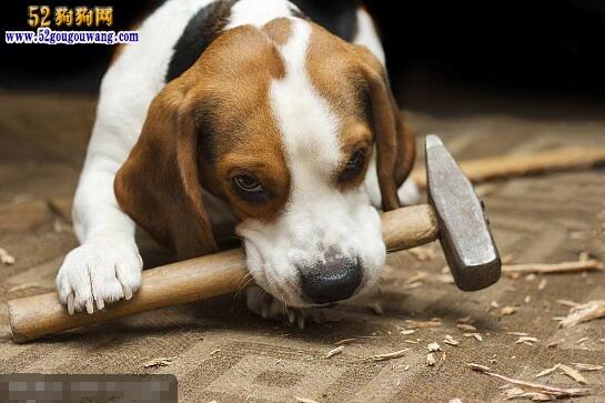 比格犬智商_比特犬智商_比格缉毒犬