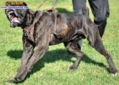 城市禁养犬种名单:广西南宁市禁