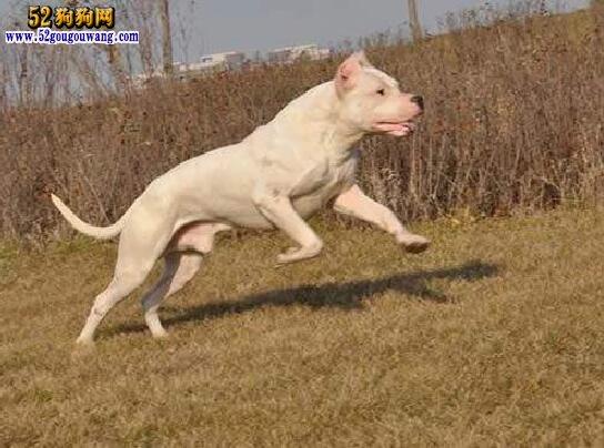 出售杜高犬