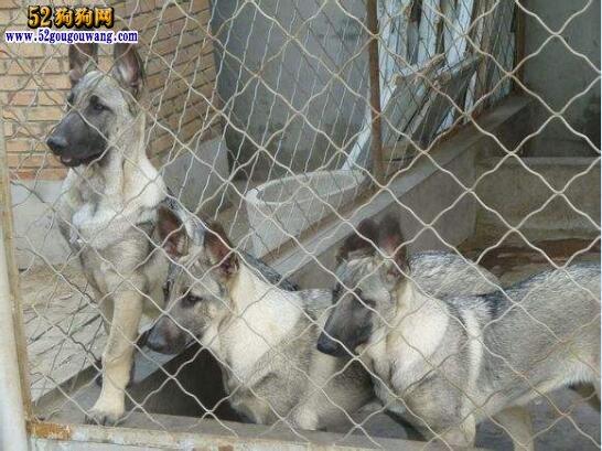 狼青犬多少钱一只