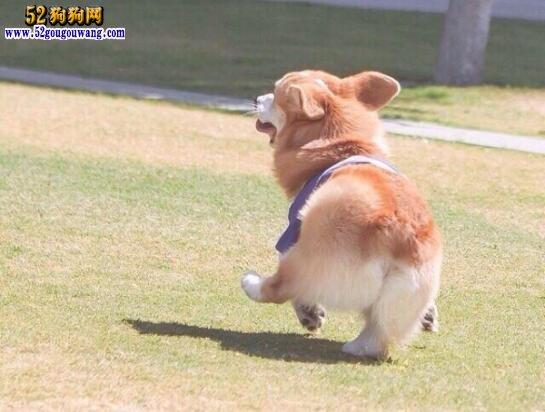 柯基犬价格多少钱一只