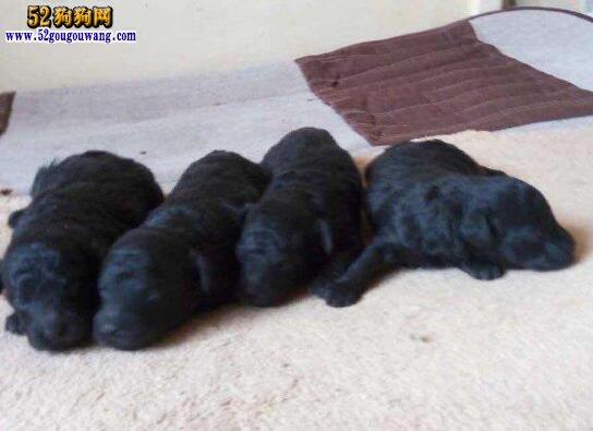 泰迪狗价格、影响泰迪犬价格的五大因素必知!