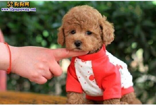 小泰迪狗多少钱一只?泰迪犬的级别不同价格差别比较大!