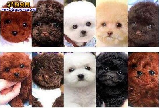 贵宾犬颜色不同价格表