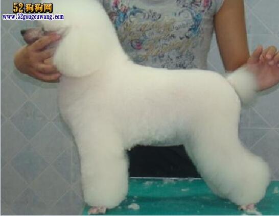 贵宾犬剪毛造型集