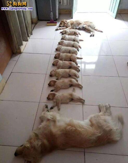 一只金毛幼犬多少钱?四大因素对金毛犬的价格影响大!