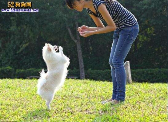 博美犬的训练